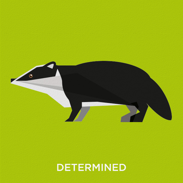 Determined badger